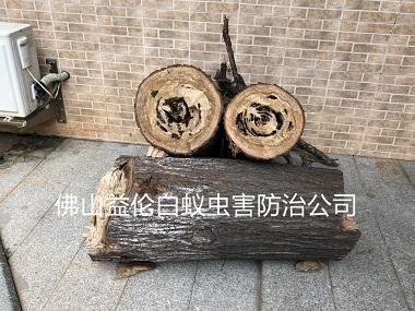 禅城园区树木白蚁防治