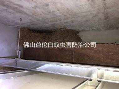 丹灶白蚁防治站处理白蚁巢